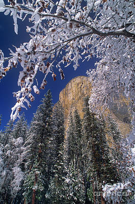 Photograph - El Capitan Framed By Snow Covered Black Oaks California by Dave Welling