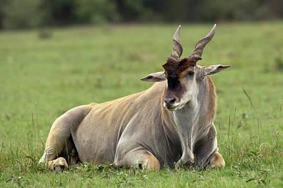 Adam Photograph - Eland (taurotragus Oryx by Adam Jones