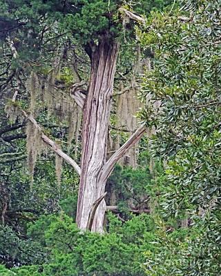 Photograph - Elder Statesman Louisiana by Lizi Beard-Ward