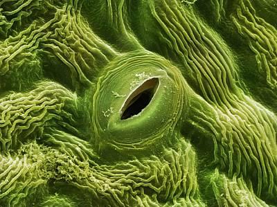 Nigra Photograph - Elder Tree Leaf Stoma (sambucus Nigra) by Power And Syred