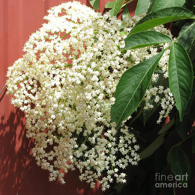 Photograph - Elderberry Blossom by Conni Schaftenaar