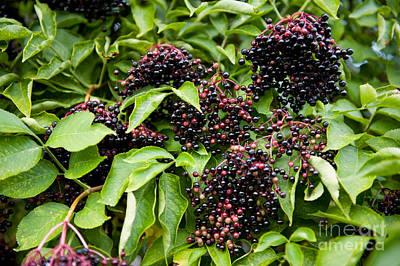 Elderberry Fruits Clusters Sag On Plant  Art Print by Arletta Cwalina