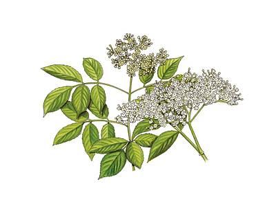 Elderflowers (sambucus Nigra), Artwork Art Print by Science Photo Library