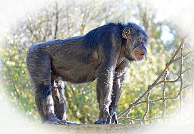Elderly Chimpanzee Art Print by Jim Fitzpatrick