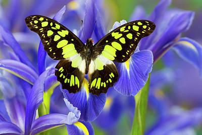 Blue Swallowtail Photograph - Electric Green Swallowtail Butterfly by Darrell Gulin