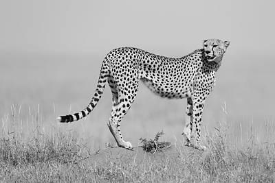 Cheetah Wall Art - Photograph - Elegance In B&w by Marco Pozzi