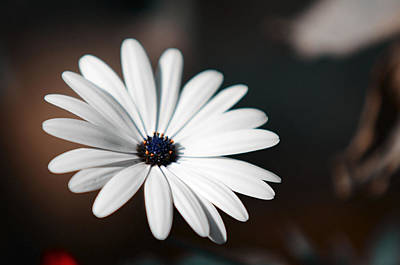 Photograph - Elegance Of White Daisy by Jenny Rainbow
