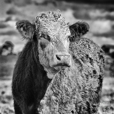 Elegant Cow Art Print by John Farnan