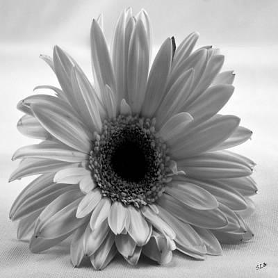 Photograph - Elegant Daisy by Sandra Clark