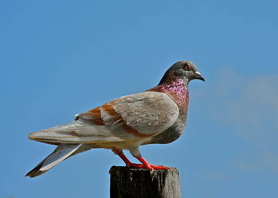 Photograph - Elegant Dove With Shimmering Feathers by Kirsten Giving
