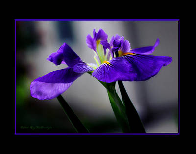 Elegant Iris With Black Border Art Print