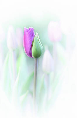 Tulips Photograph - Elegant by Lydia Jacobs