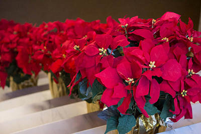 Photograph - Elegant Poinsettias by Patricia Babbitt