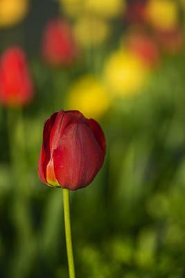 Photograph - Elegant Red Tulip by Vishwanath Bhat