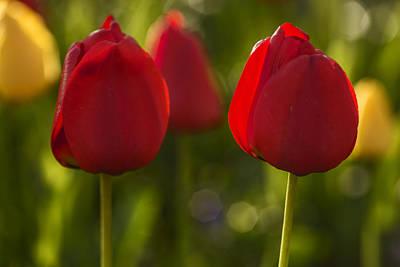 Photograph - Elegant Red Tulips  by Vishwanath Bhat