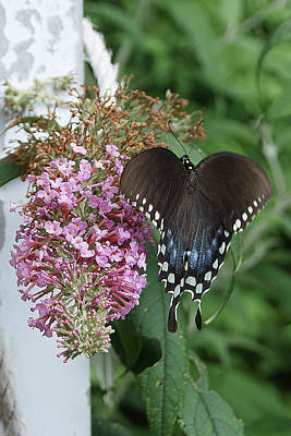 Photograph - Elegant Swallowtail Butterfly by Margie Avellino