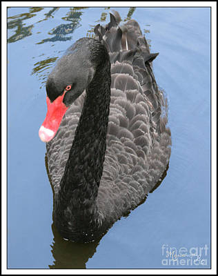 Photograph - Black Swan by Mariarosa Rockefeller
