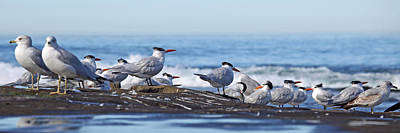 Photograph - Elegant Terns La Jolla by Dusty Wynne