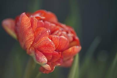 Photograph - Elegant Tulip  by Vishwanath Bhat