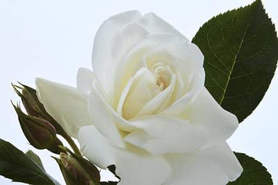 Elegant White Rose. Original