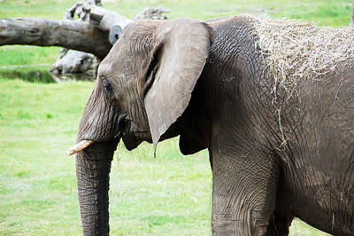 Photograph - Elephant 2 by Aimee L Maher ALM GALLERY