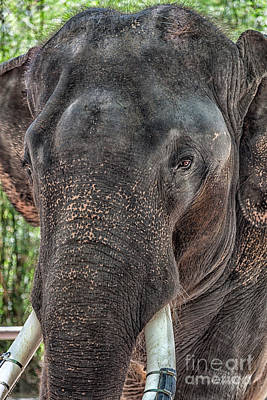 Thailand Photograph - Elephant by Adrian Evans