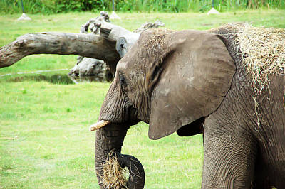 Photograph - Elephant by Aimee L Maher ALM GALLERY
