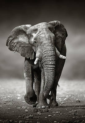 Sepia Photograph - Elephant Approach From The Front by Johan Swanepoel