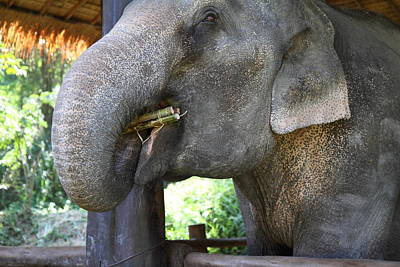 Asia Photograph - Elephant At Maesa Elephant Camp - Chiang Mai Thailand - 011311 by DC Photographer
