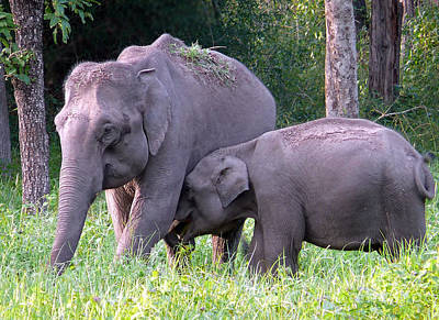 Photograph - Elephant- Breast Feeding by Anuj Nair