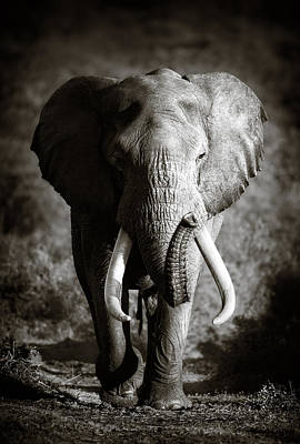 Animals Photos - Elephant Bull by Johan Swanepoel