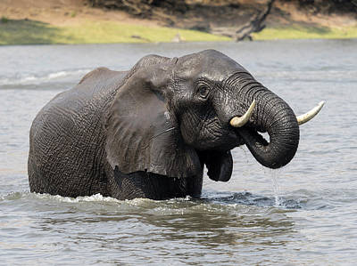 Elephant Crossing Chobe River, Chobe Art Print by Panoramic Images