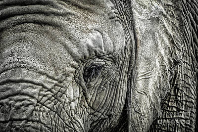 Photograph - Elephant by Elena Elisseeva