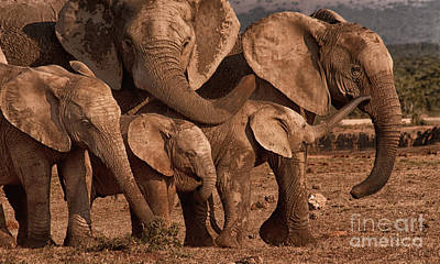 Photograph - Elephant Family Portrait by Barbara Youngleson