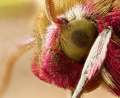 Insects Photograph - Elephant Hawk Moth Extreme Macro by Mr Bennett Kent