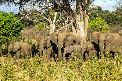 Elephant Herd 2 Original