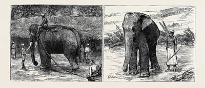 Sacred Art Drawing - Elephant Hunting In Ceylon Left Image A Tame Elephant by English School