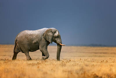 Royalty-Free and Rights-Managed Images - Elephant in grassfield by Johan Swanepoel