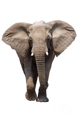 Portraits Royalty-Free and Rights-Managed Images - Elephant isolated by Johan Swanepoel