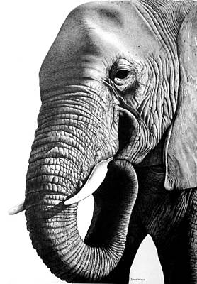 Animals Drawings - Elephant by Jerry Winick