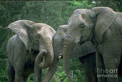 Elephant Ladies Art Print by Gary Gingrich Galleries