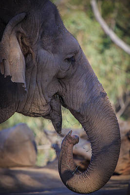 Photograph - Elephant by Matthew Onheiber