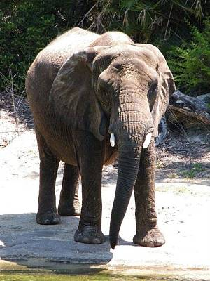Photograph - Elephant by Ronda Douglas