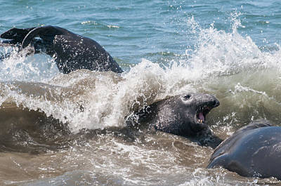 Photograph - Elephant Seal Attack by Avian Resources