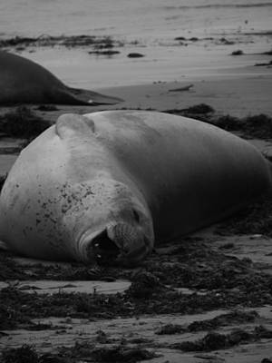 Ano Nuevo Photograph - Elephant Seal Laughter by Gwendolyn Barnhart