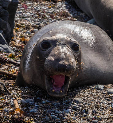 Photograph - Elephant Seal by Terry Cotton