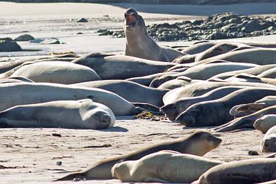 Elephant Seals At Ano Nuevo State Park California Art Print