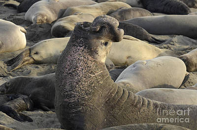 Photograph - Elephant Seals by Bob Christopher