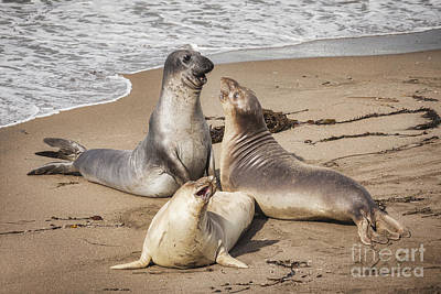 Elephant Seals Art Print by Colin and Linda McKie
