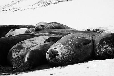 elephant seals hannah point livingstone island Antarctica Art Print by Joe Fox